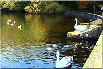 NS2209 : Swans at the Swan Pond by Billy McCrorie