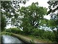 SJ3225 : Oak tree along side the Montgomery Canal towpath by Christine Johnstone