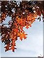 SX8966 : Oak leaves, The Willows by Derek Harper