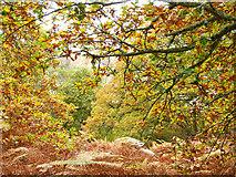 NH5857 : Autumn in Easter Oak Wood by Julian Paren