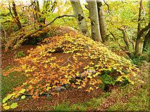 NH5857 : Beech in Easter Oak Wood by Julian Paren