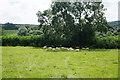 ST7683 : Sheep enjoying the shade by Bill Boaden