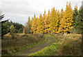 NZ0309 : Autumnal larch trees beside minor road by Trevor Littlewood