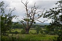 TQ5143 : Dead tree by N Chadwick