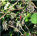 TG1903 : Ivy seeds and brambles by Evelyn Simak