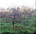 TG1903 : Apple orchard in late November by Evelyn Simak