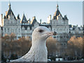 TQ3079 : Herring Gull and River Thames by Christine Matthews