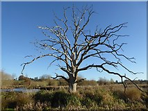 SO8845 : Dead tree by Philip Halling