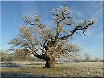 SO8844 : A mature oak tree on a frosty morning by Philip Halling