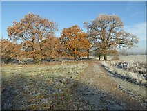 SO8844 : Oak trees on a frosty morning by Philip Halling