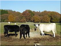 TQ4476 : Cows feeding at Woodlands Farm by Marathon