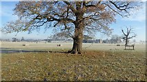 SO8844 : Oak tree in Croome Park by Philip Halling