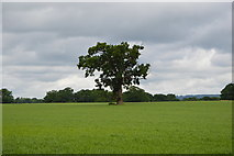 TQ5346 : Single tree by N Chadwick