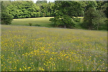 TQ5145 : Buttercups and grass by N Chadwick