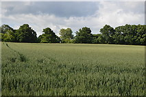 TQ5246 : Wheat field by N Chadwick