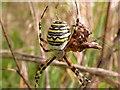 TQ7808 : Wasp spider (female) by Patrick Roper