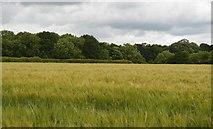 TQ5247 : Barley field by N Chadwick