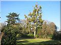 SU7584 : Mistletoe at Henley Park by Des Blenkinsopp