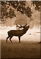 ST8183 : Red Deer Roaring in Rut, Badminton Park, Gloucestershire 1991 by Ray Bird