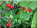 TQ8020 : Wild red currants, Brede High Woods by Patrick Roper