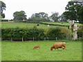 SJ5344 : Cattle grazing near Grindley Brook in Cheshire by Roger  Kidd