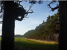 NT6378 : East Lothian Landscape : Shelterbelts Near Hedderwick Hill by Richard West