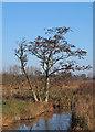 TM5092 : Tree by dyke, Carlton Marshes by Roger Jones