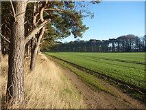 NT6378 : East Lothian Landscape : Shelterbelts At Hedderwick Hill by Richard West