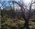 SK4613 : Trees near the summit of Bardon Hill by Mat Fascione