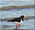 J3778 : Oystercatcher and cockle, Belfast Lough (January 2017) by Albert Bridge