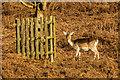 TQ5353 : Fallow Deer by Ian Capper