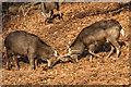 TQ5353 : Sika Deer by Ian Capper