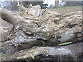 NT1977 : Fallen tree at Cramond by M J Richardson