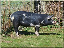 TQ1148 : Contented Pig by Colin Smith