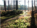 TG4500 : Path in Fritton Wood by Evelyn Simak