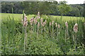 SU8792 : Bulrushes. River Wye by N Chadwick