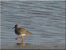 SW9873 : Redshank, Camel estuary by Derek Harper