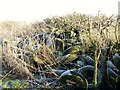 SU1158 : Rubber hedge by Michael Dibb