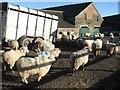 SH8271 : Farmyard with sheep, Llindir by Jonathan Wilkins