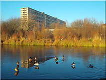 TQ3377 : Ducks on a frozen lake, Burgess Park by Malc McDonald