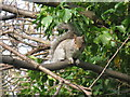 NT2476 : Angry Grey Squirrel at Trinity by M J Richardson