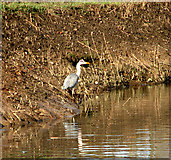 TG3204 : A grey heron at Rockland Dike by Evelyn Simak