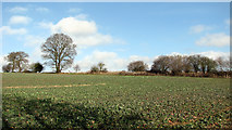 TG3204 : View across a young oilseed rape crop by Evelyn Simak