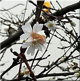 NS4865 : Winter Flowering Cherry by Thomas Nugent