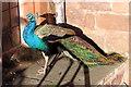 SJ2106 : A Powis Peacock by Jeff Buck