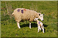 SO1969 : Ewe and lamb by Ian Capper