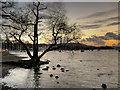 SD3996 : Lone Tree, Windermere Shore near Bowness by David Dixon