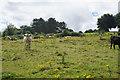 ST7765 : Cattle on Bathampton Down by Bill Boaden