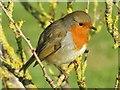 TQ0658 : Wisley - Robin by Colin Smith