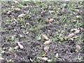 NT1889 : Stubble turnips by M J Richardson